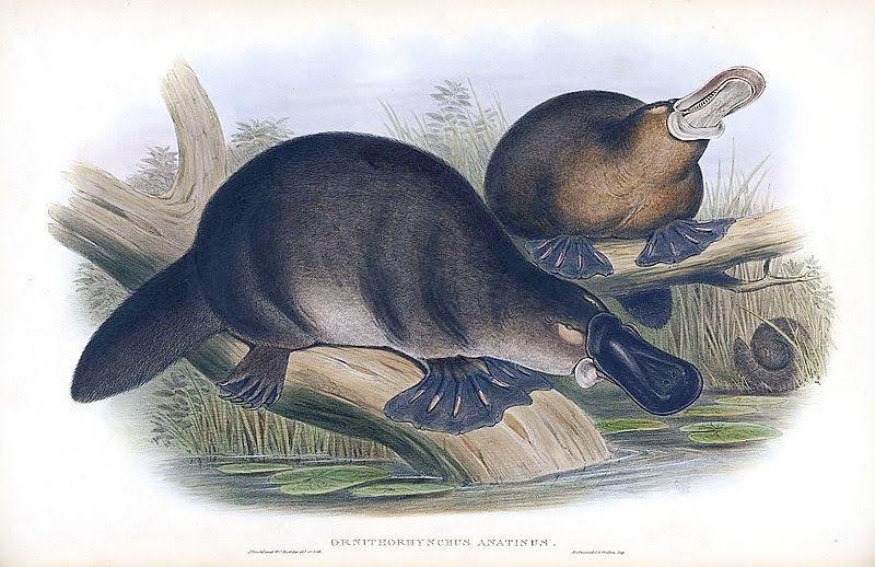 Platypus engraving